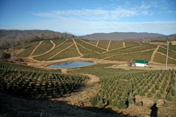 Neighboring Xmas Tree Farm